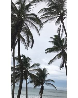 Amazing photo of the palm trees in Bathsheba