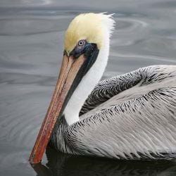 A photo of a Mature Brown Pelican on Sanibel Island.