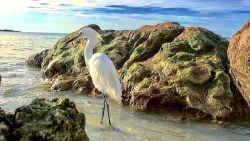 A picture of a Snowy Egret standing by some rocks on Captiva Isand