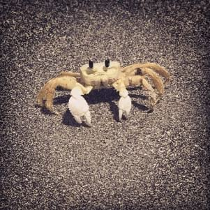 A picture of a Sand crab taking stroll on Captiva Island