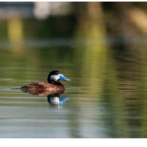 Closeup shot of a ruddy duck in Dominican Republic.