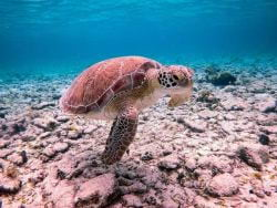 A picture of a Logger head turtle in Grand Cayman
