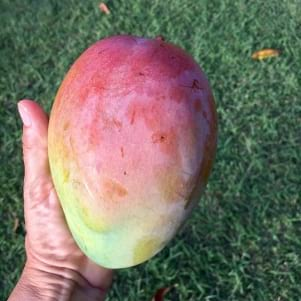 This is a large mango!
